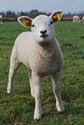 Image of a lamb.jpg