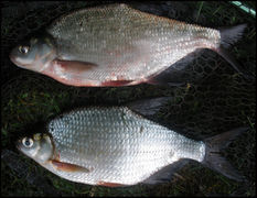 Comparative of bronze bream and silver bream.JPG